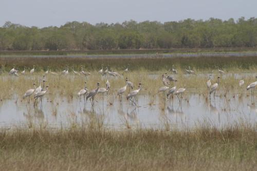 ID57-link-biodiversity-Brolgas-Lake-Eda-500px